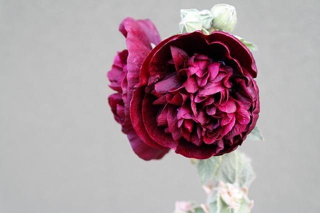 Flower, Hollyhock, Red, Bloom, Mallow