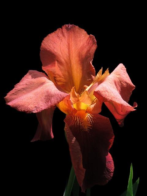Bearded Iris, Red Flower, Iris, Close, Nature, Flower