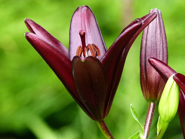 Lily, Red, Garden, Flower, Floral, Bloom, Flora
