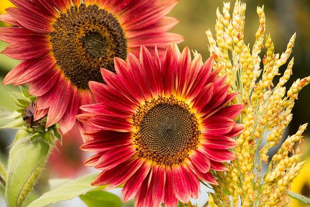 Sun Flower, Red, Flower, Red Flower, Blossom, Bloom