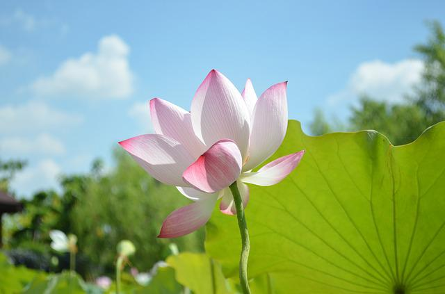 Lotus, Sky, Green Leaves, Blue Day, Red Flower