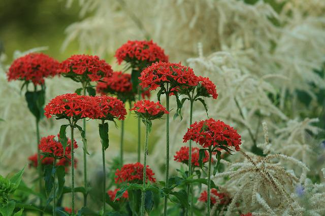 Summer, Flower, Kalanchoe, Aruncus, Red Flower