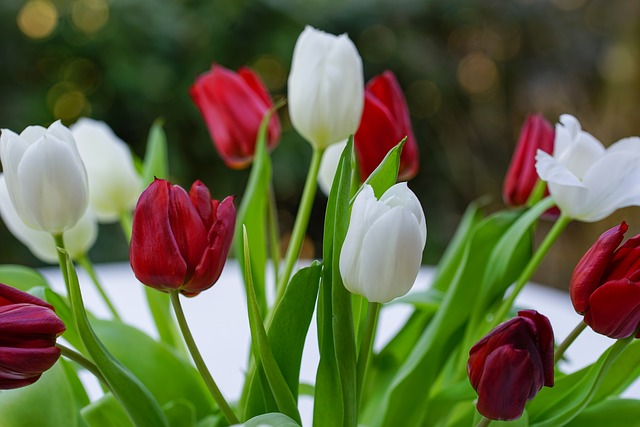 Bouquet, Tulip, Red, White, Nature, Flower, Plant, Leaf