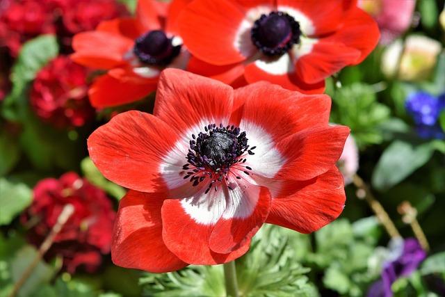 Poppy, Mohngewaechs, Blossom, Bloom, Color, Red, Flower