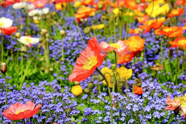 Poppy, Flower, Blossom, Bloom, Red, Field, Nature