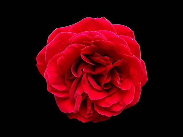 Rose, Red, Flower, Black Background