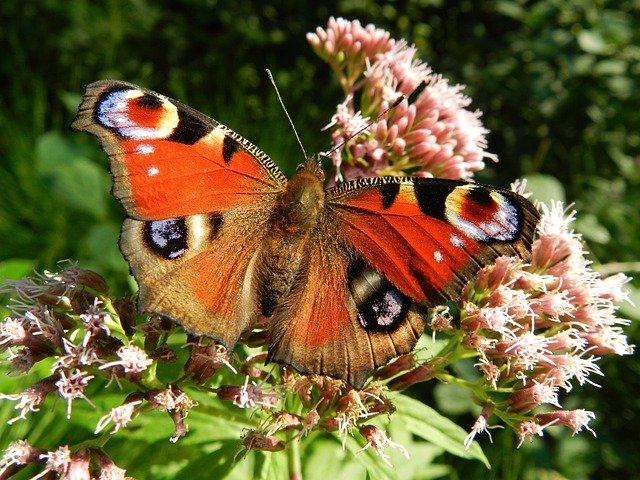 Butterfly, Wings, Red, Flowers