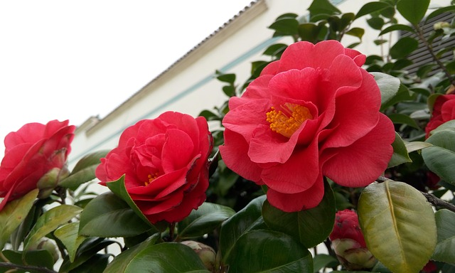 Camellia, Red Flowers