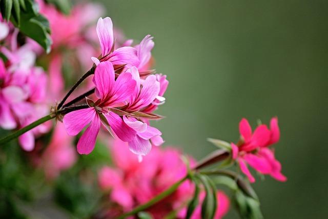 Geranium, Flowers, Red, Decorative, Plant, Pink Flower