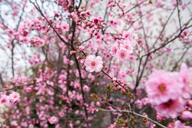 Flower, Plum Blossom, Red Flowers