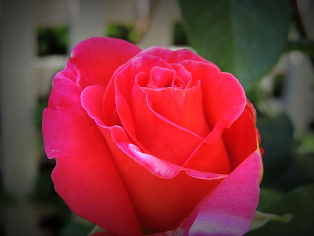 Red Flowers, Flower, Chinese Rose, Happy, Love