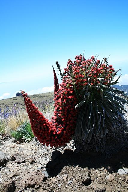Tajinaste Rojo, Tenerife, Red Flowers