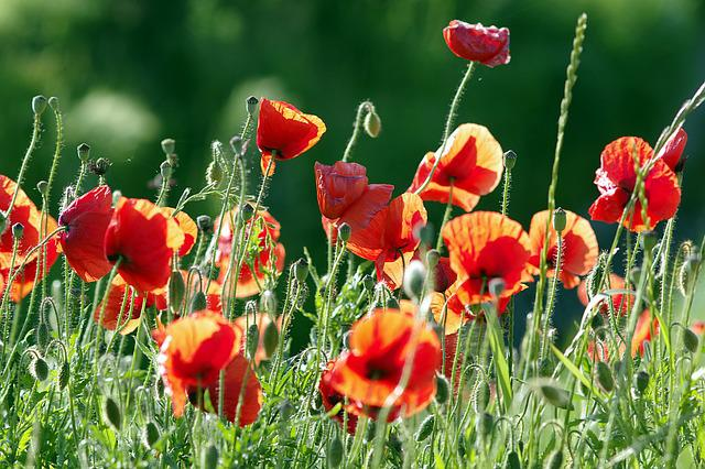Poppies, Red, The Beasts Of The Field, Flowers, Meadow