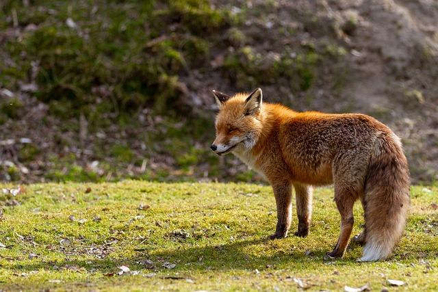 Animal World, Nature, Mammal, Animal, Wild, Red Fox