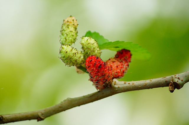 Mulberries, Red, Fruit, Berry, Mulberry, Sweet, Fresh