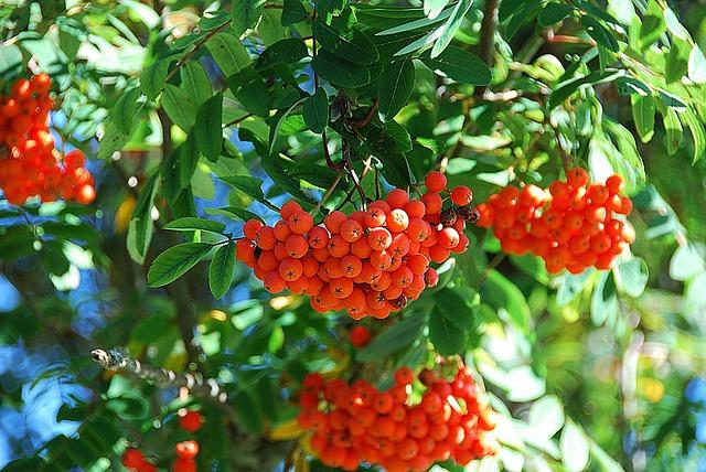 Rowan, Mountain Ash, Red Fruit, Deciduous Tree