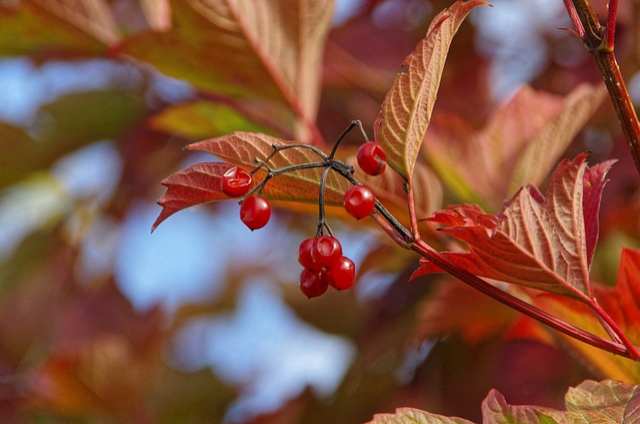 Leaves, Fruit, Red Fruits, Viburnum, Fall, Berries