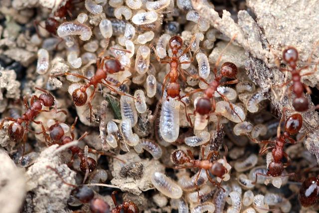 Red Garden Ant, Myrmica Rubra, Ant Larvae, Transparent
