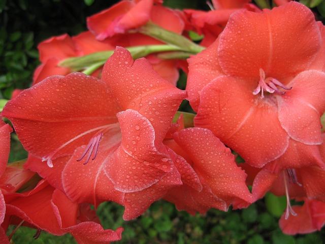 Red Gladiolus, Gladiolus, Gladioli, Floral, Plant