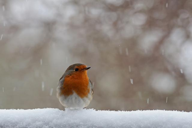 Red Goblets, Winter, Snow, Nature, Bird