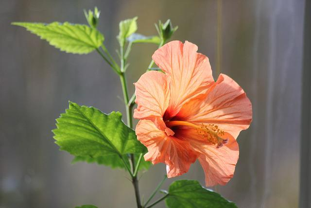 Hibiscus Flower, Red, Hibiscus, Ornamental Plant