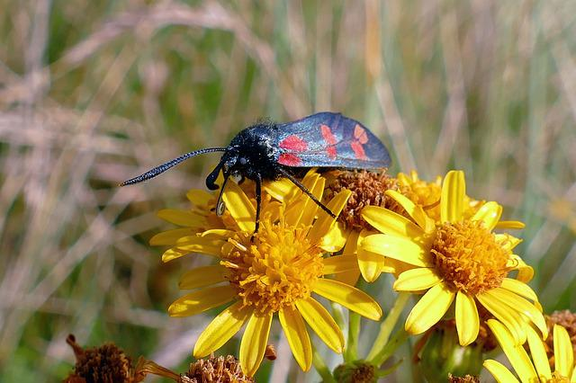 Six Spotted Burnet Moth, Moths, Insect, Nature, Red