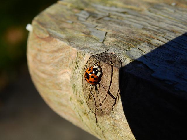 Beetle, Ladybug, Wood, Nature, Insect, Lucky Charm, Red