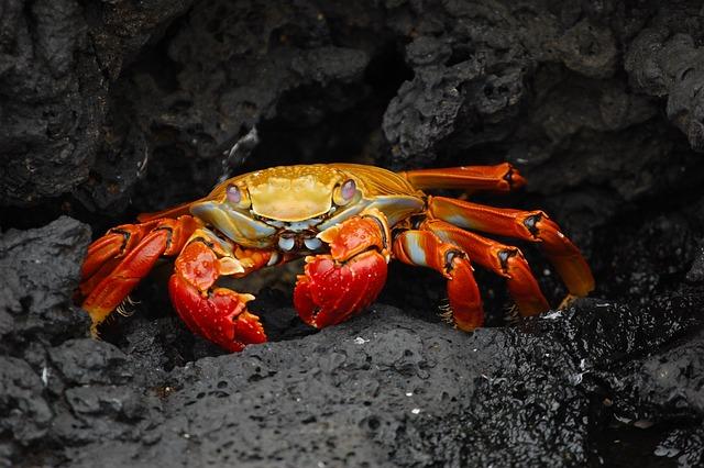 Crab, Red Klippenkrabbe, Grapsus Grapsus, Shellfish