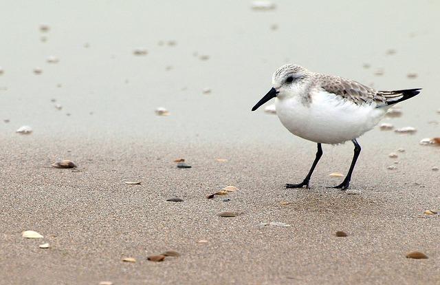 Red Knot, Calidris Canutus, Bird, Sandpiper, Beach, Sea