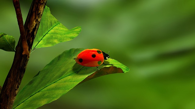 Ladybird, Leaf, Green, White, Red, Ladybug, Insect