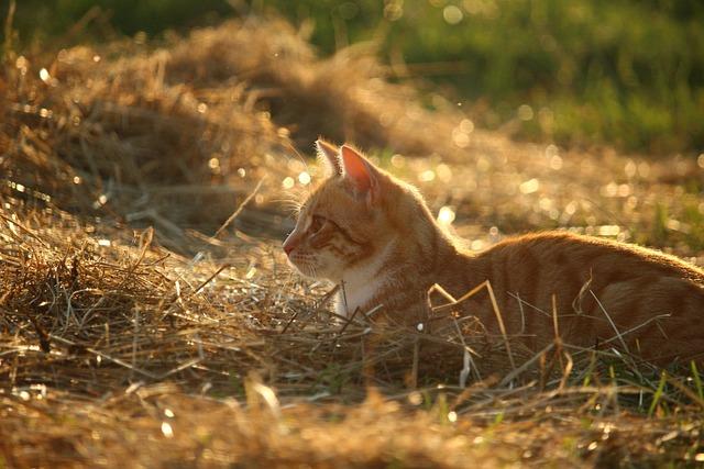 Cat, Mieze, Kitten, Red Cat, Red Mackerel Tabby
