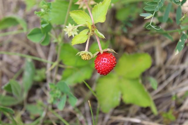Fragaria Vesca, Fruit, Bush, Red, Nature
