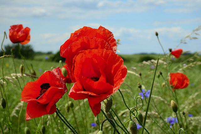 Poppies, Beauty, Nature, Red, Figure, Flowers, Spring