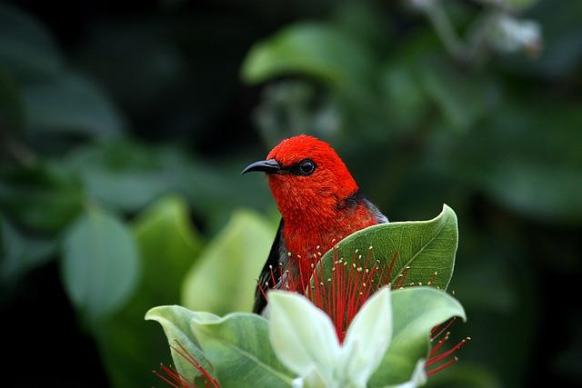 Scarlett Honeyeater, Bird, Red, Beak, Nature, Wildlife