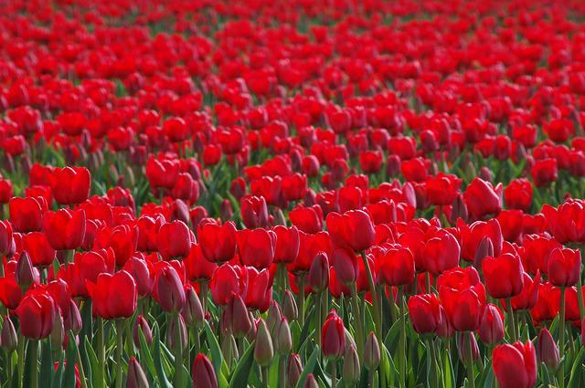 Tulip, Tulips, Bollengewas, Red, Field, Nature, Spring
