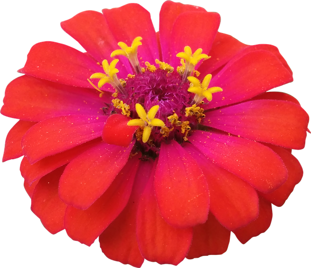 Flower, Red, Zinnia, Nature, Flowers Isolated