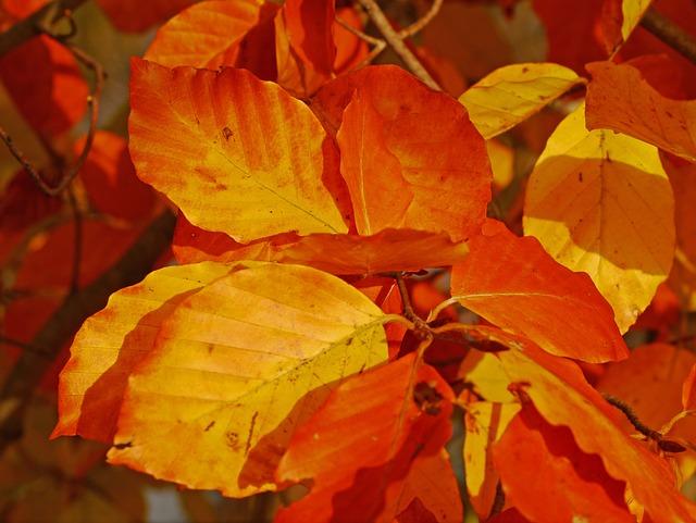 Fall Foliage, Beech, Leaves, Red, Orange, Yellow