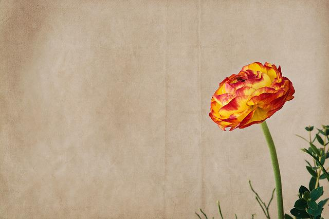 Ranunculus, Flower, Blossom, Bloom, Orange, Red, Yellow