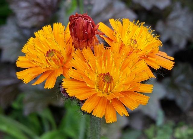 Red Orange Hawkweed, Hawkweed, Flowers, Flower, Flora