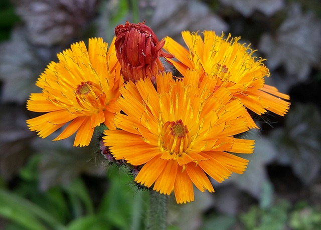 Red Orange Hawkweed, Hawkweed, Flowers, Flower, Flora