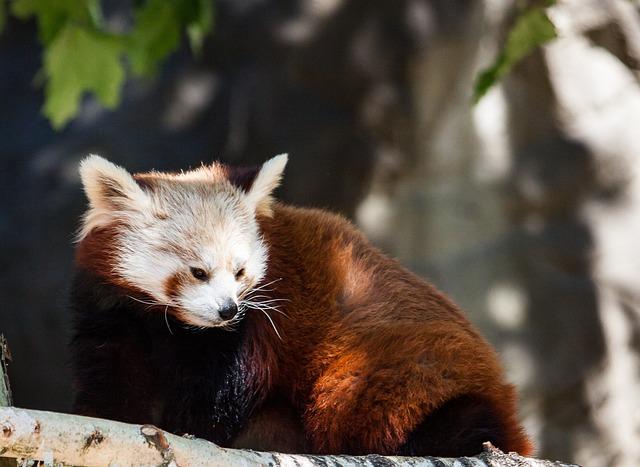 Panda, Red Panda Bear, Mammal
