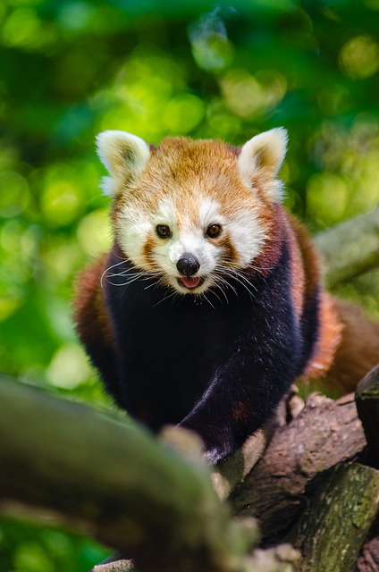 Animal, Branch, Cute, Red Panda, Tree, Wildlife