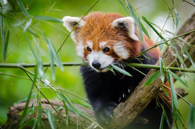 Animal, Cute, Grass, Red Panda, Wildlife, Green Grass