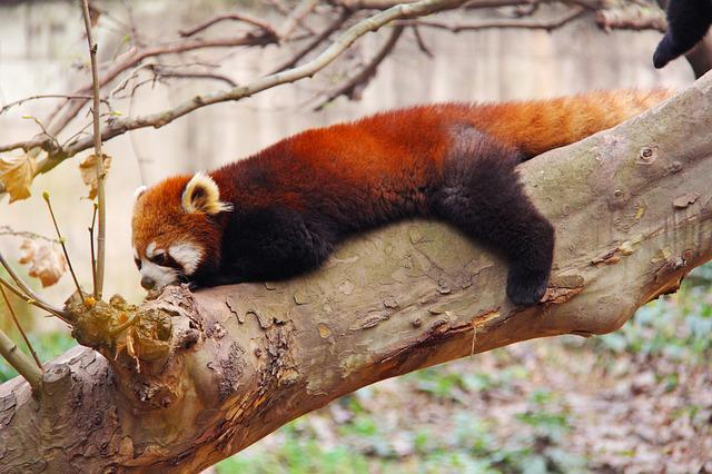 Loveable, Red Pandas, Sichuan, Black And White
