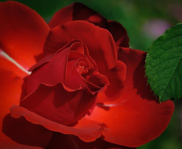 Rose, Red, Flower, Beauty, Romantic, Petals, Isolated