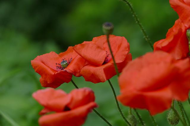 Poppies, Red, Nature, Red Flowers