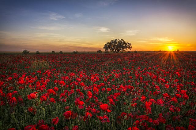 Poppies, Sunset, Red, Clouds, Red Sun, Twilight