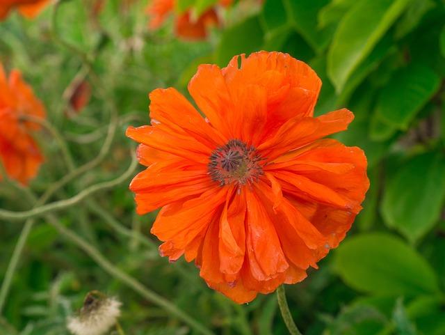 Flower, Poppy, Red, Blossom, Bloom
