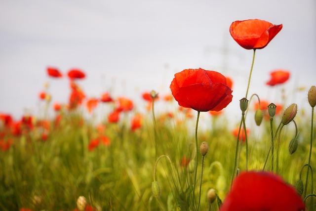 Poppy, Flower, Red Poppy, Blossom, Bloom, Red, Nature