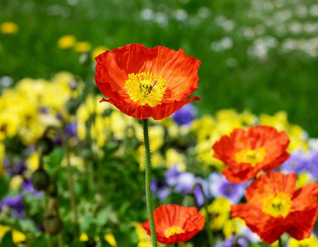 Poppy, Flower, Blossom, Bloom, Red, Spring, Garden